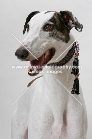 cheerful white and brindle Greyhound, australian champion and finnish champion
