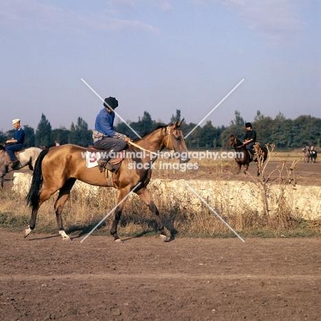 morning exercise, grooms riding  akhal tekes