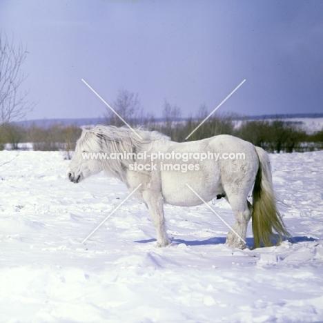 yakut pony in snow