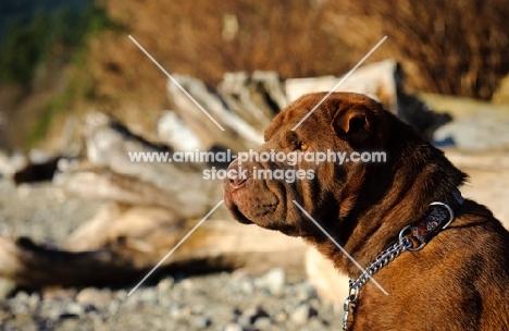 brown Shar Pei