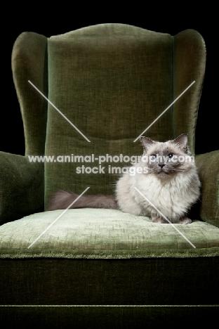 Ragdoll cat crouching in chair