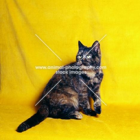 tortoiseshell short hair cat
