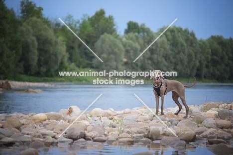 Happy silver hungarian vizsla standing on a river shore