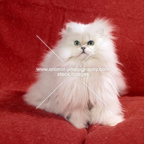 chinchilla cat at home