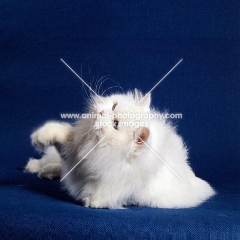 blue eyed white long hair cat pawing