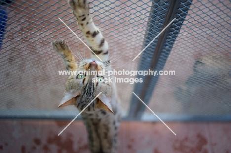 seal sepia bengal cat stretching