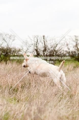 Labrador on retrieve in long grass