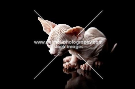 little sphynx kitten looking down