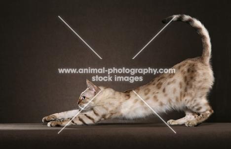 Bengal stretching