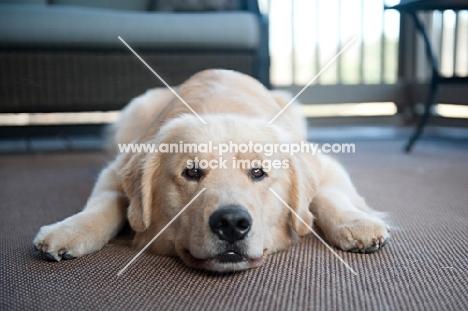 golden retriever lying down