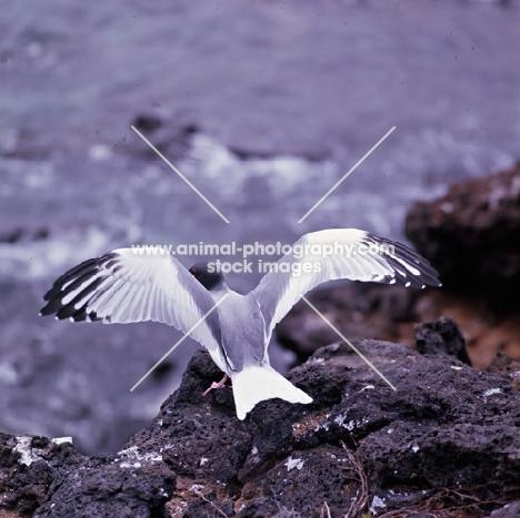 swallow-tailed gull facing the sea, galapagos islands