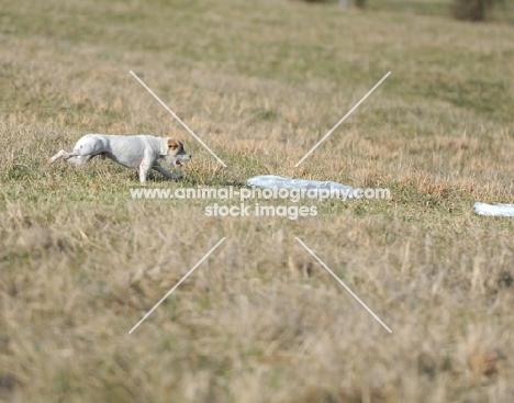 white dog on grass, distant shot