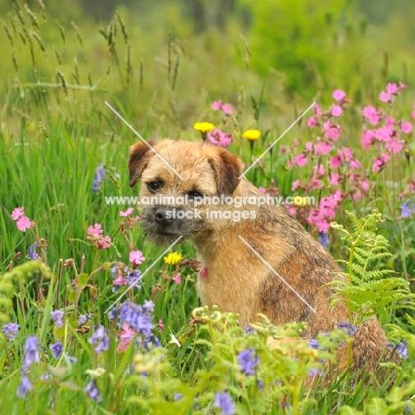Border Terrier (aka coquetdale, reedwater terrier) amongst flowers