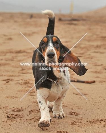 Basset Artesian Normand dog walking directly towards camera