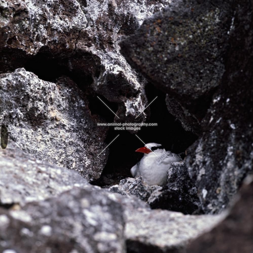 red billed tropic bird among lava rocks, galapagos islands