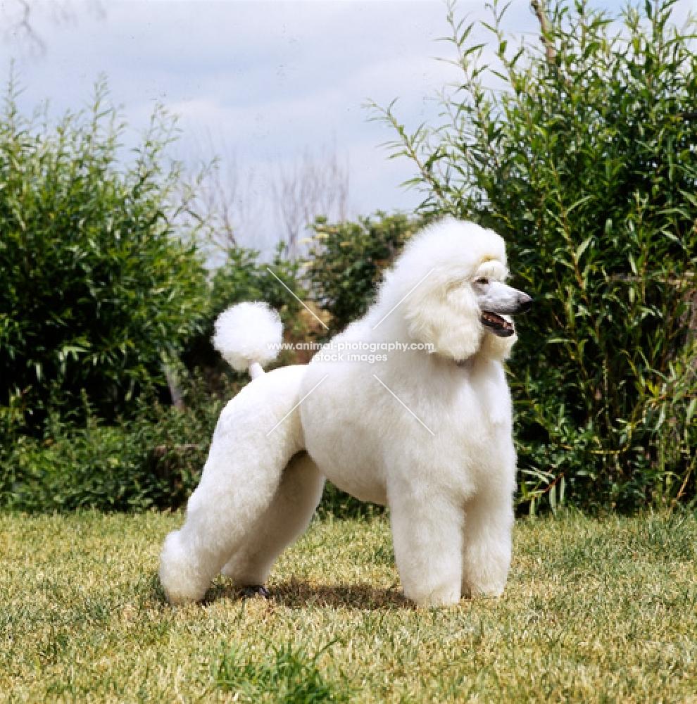 White Standard Poodle ...