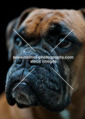 Boxer muzzle close up