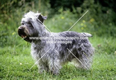 malsville moody blue of farni,  glen of imaal terrier side view