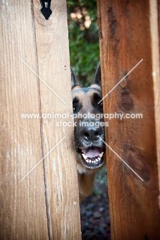 German shepherd peeking through fence slats