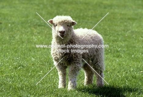 grey face dartmoor lamb