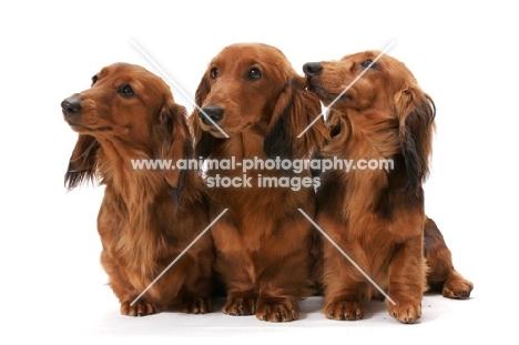 three dachshund longhaired (miniature), (one Australian Champion)