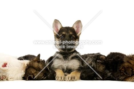 group of German Shepherd (aka Alsatian) puppies, all sleeping, one awake