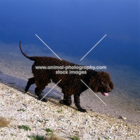 sh ch kellybrook joxer daly,  irish water spaniel walking by the water's edge