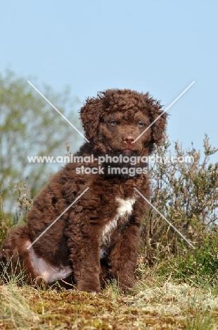 brown and white Wetterhound puppy