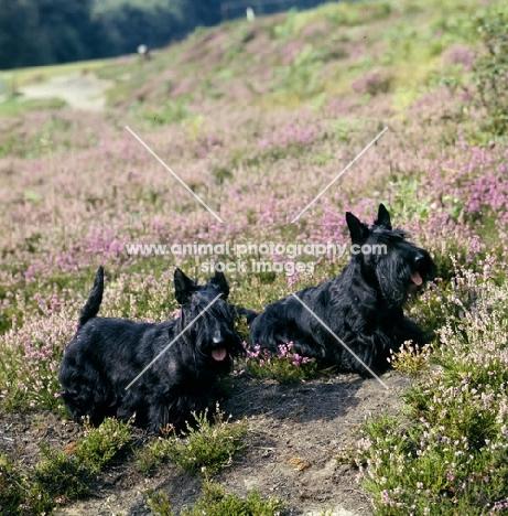 ch gaywyn viscountess, ch gaywyn titania,  two scottish terriers on heather