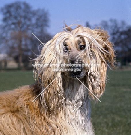 afghan hound head portrait