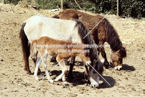 two skyros ponies and a skyros foal on skyros island
