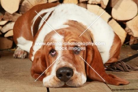 tired Basset Hound