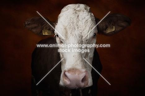 Simmental cow front view portrait