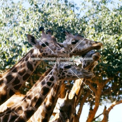 four reticulated giraffes in khartoum zoo, sudan