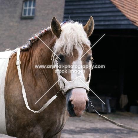 Herman van Halfweg,  Dutch Draught Horse, head shot