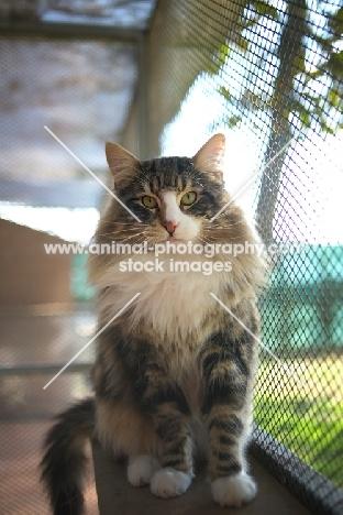 Norwegian Forest Cat international champion Quadzilla's Sirius sitting on a cat shelf