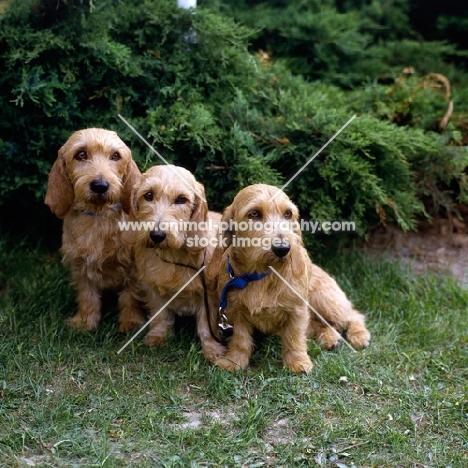 three bassets fauve de bretagne sitting on grass