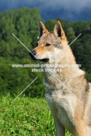 Czechoslovakian wolfdog (aka Ceskoslovensky Vlcak) head study