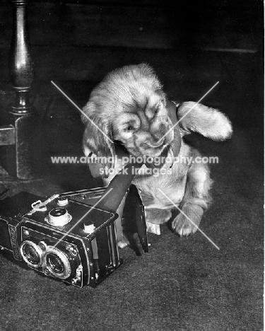 mischievous Cocker Spaniel puppy pulling film out of  rolleiflex camera