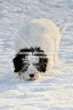 Polish Lowland Sheepdog, (also known as Nizinny)