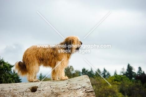 Briard standing on log