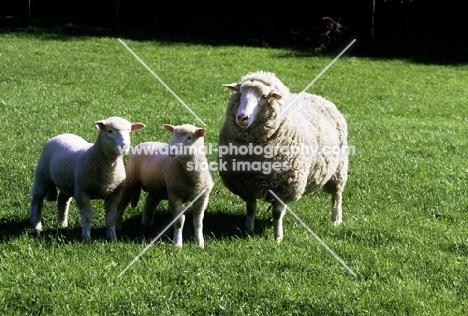 poll dorset cross ewe and twin lambs