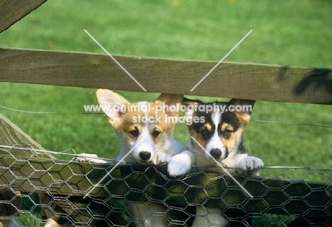 two pembroke corgi puppies looking through a gate