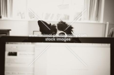 Border Collie peering over laptop screen