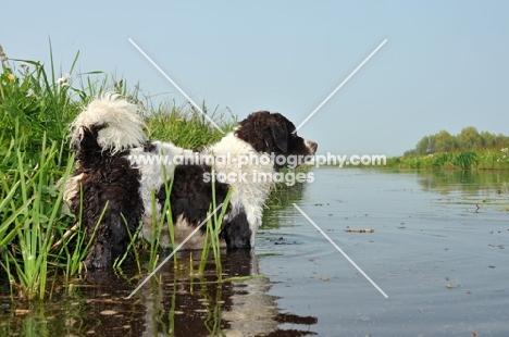 Wetterhoun standing in water