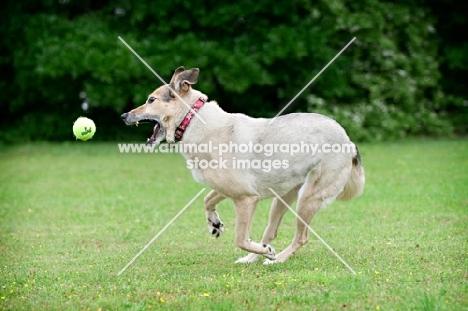 shepherd mix fetching ball