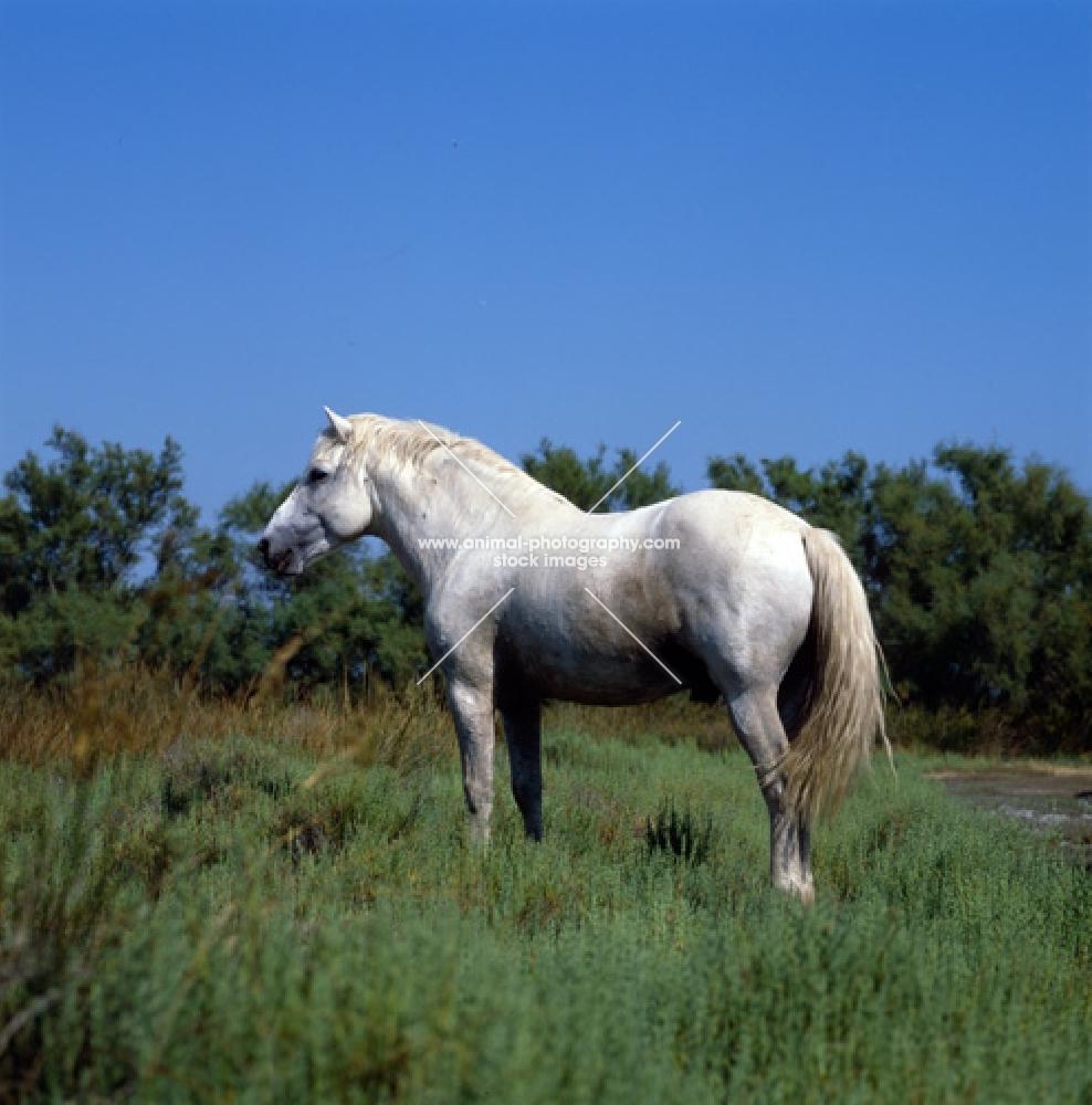 Camargue pony on Camargue