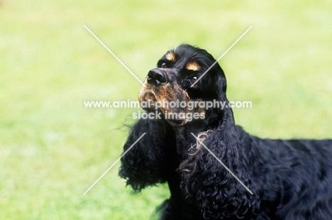 american cocker spaniel, portrait