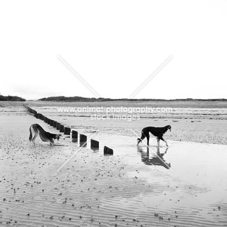 two salukis on beach, ch burydown elishama, left, burydown knightellington cheheli