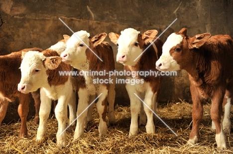 four Fleckvieh calves
